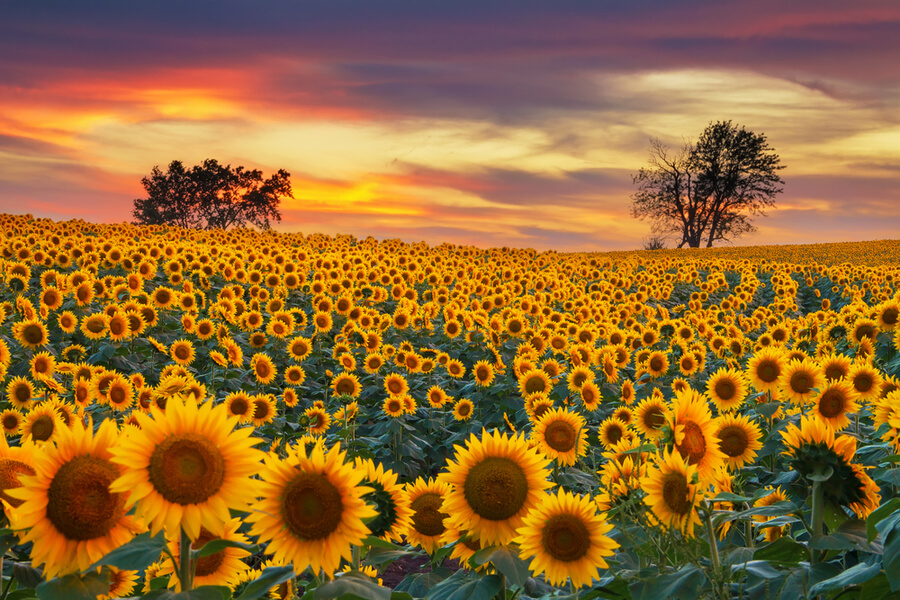 Sunflower field in the Midwest
