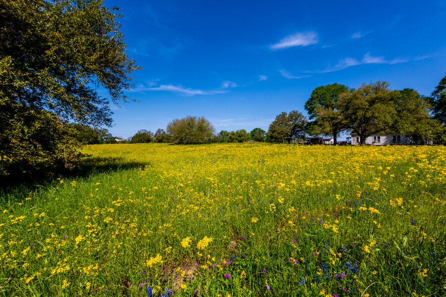 A Texas Meadow Full of Various Bright Yellow Wildflowers