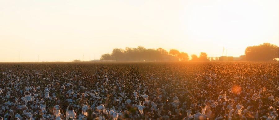 Cotton field in Lubbock, Texas